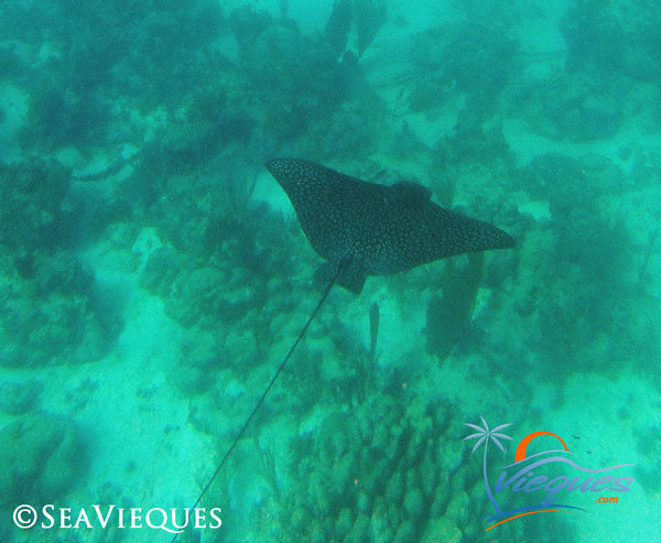 vieques-sailing-snorkeling-charter-sea-vieques