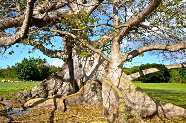 ceiba-puerto-rico-arbol-vieques