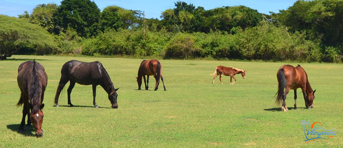 Attractions - Horses in Vieques Island, Puerto Rico
