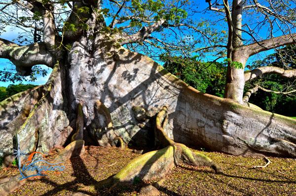 arbol-ceiba-vieques-puerto-rico-tree-34