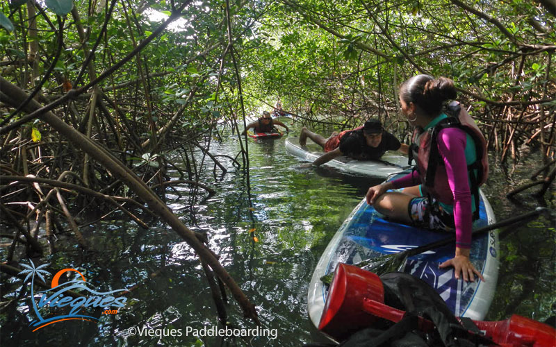 Paddleboarding on the mangrove channels of isla de Vieques, Puerto Rico - Courtesy of Vieques Paddleboarding