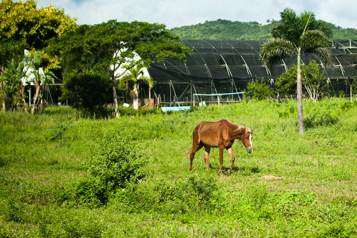 vieques-horses-puerto-rico-paso-fino-6589