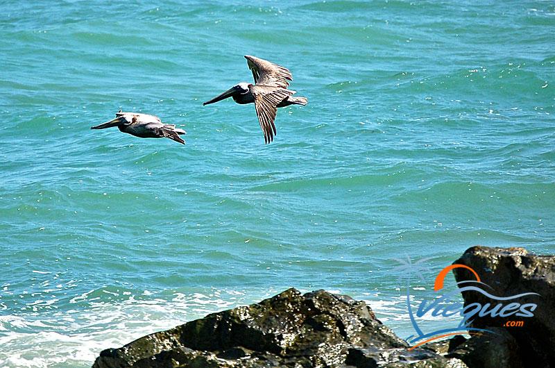 Pelicans at Vieques Island, Puerto Rico